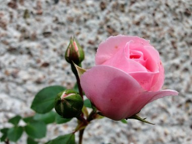cinderella-rose-2