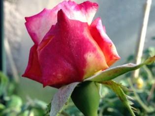 augusta-louise-rose-2