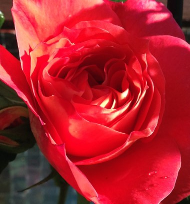 brothers-grimm-rose-3