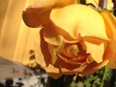 golden-celebration-rose-2