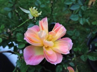 mandarin-rose-3