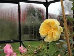 the-pilgrim-rose-2-2