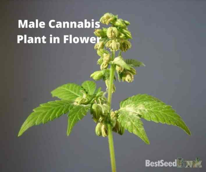 Male Cannabis Plant in Flower