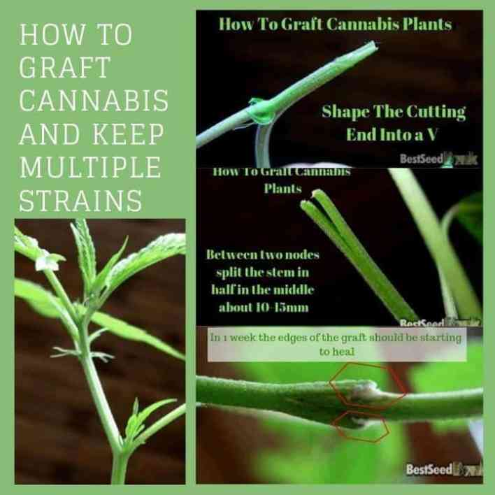 How To Graft Cannabis and Keep Multiple Strains