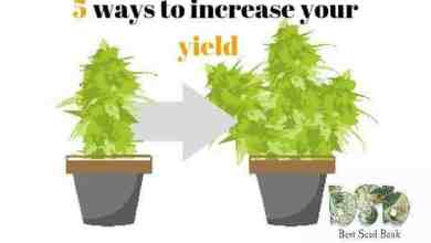 Photo of 5 ways to increase the yield of any marijuana variety
