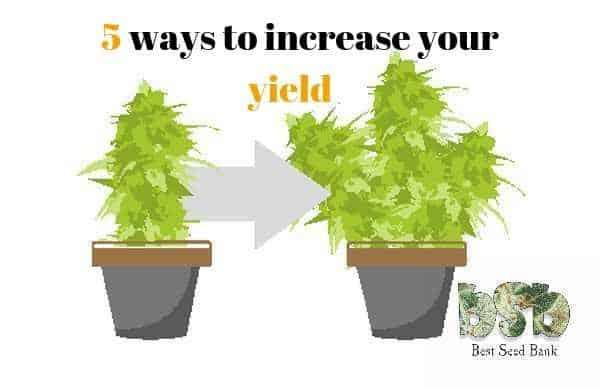 Photo of 5 ways to increase the yield of any marijuana variety
