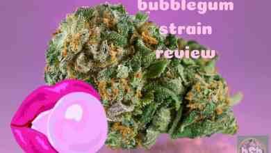 Photo of Bubblegum Strain Review