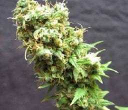 Photo of Afghanica Review
