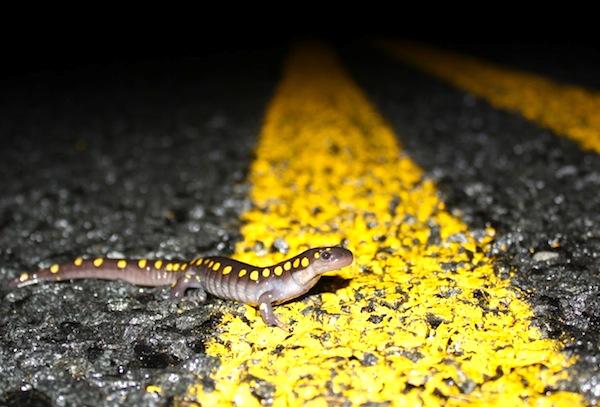 Lizard Crossing