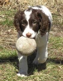 Trixie retreiving ball