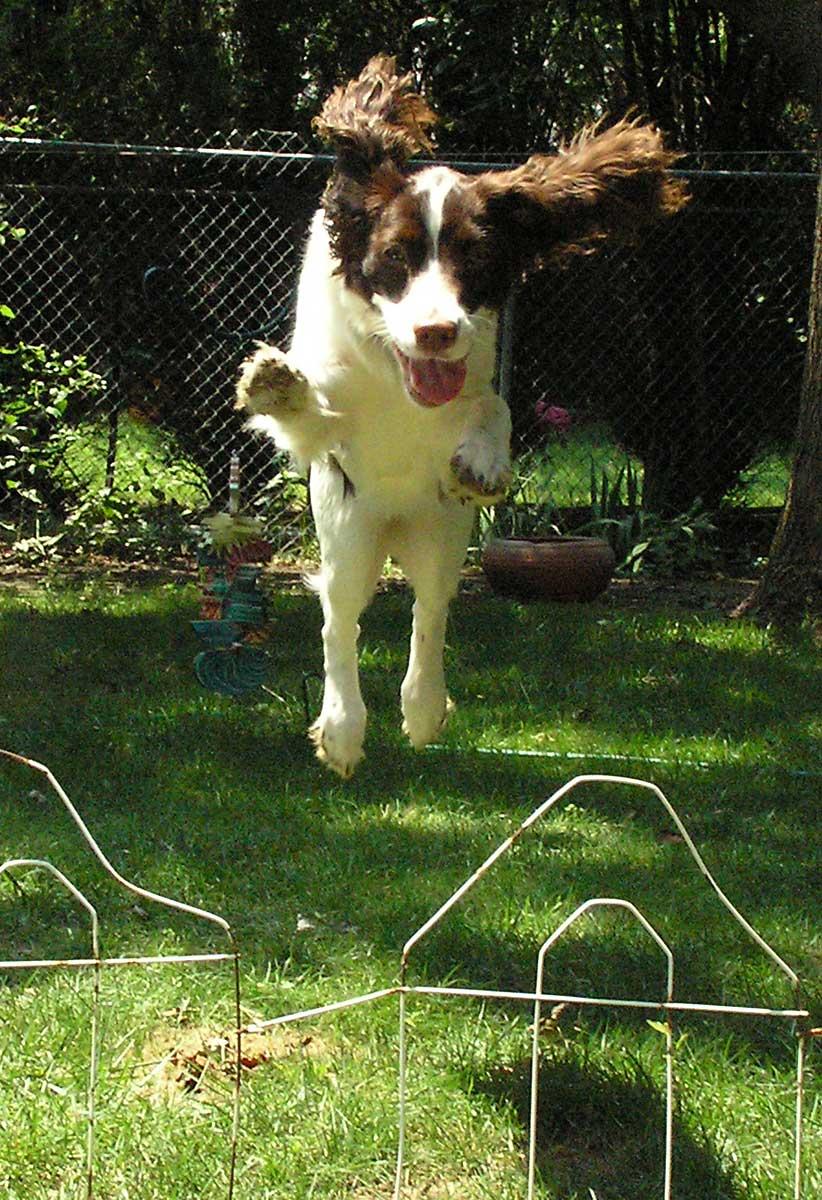 Trixie jumping over hurdles