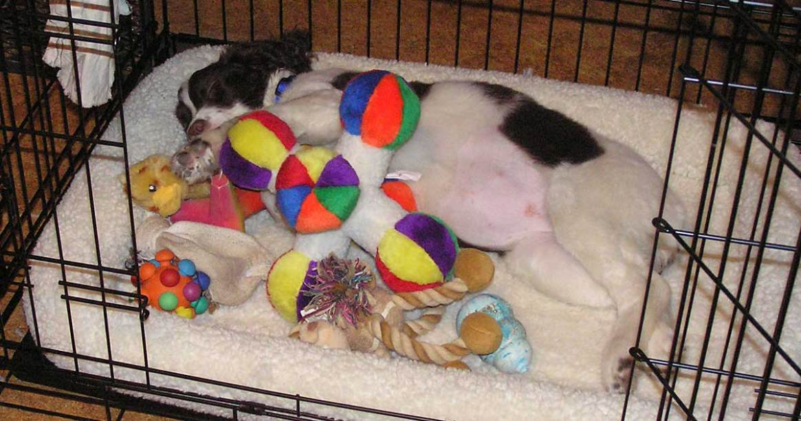 Trixie sleeping in crate with toys