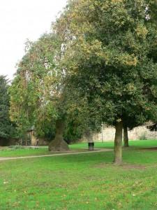Holly Worst Tree