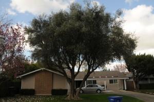 perfect olive tree