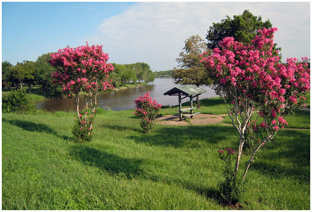 trimming crepe myrtle trees