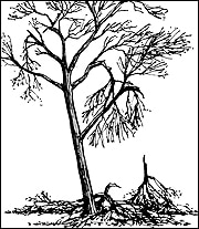 A healthy mature tree can recover even when several major limbs are damaged.