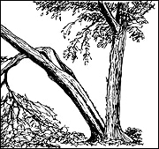 A rotten inner core in the trunk or structural weakness in branching patterns can cause a split trunk — the tree equivalent of a heart attack. The wounds are too large to ever mend, and the tree has lost its sap lifeline between roots and leaves. This tree is all but dead.