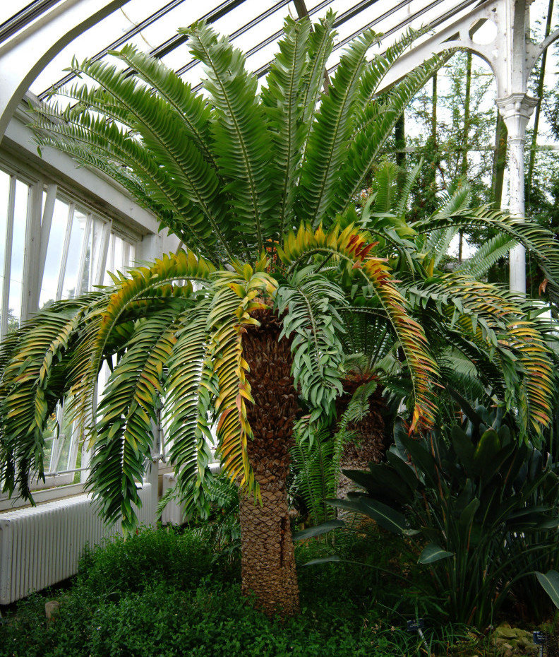 Encephalartos woodii at the KEW Royal Botanical Gardens