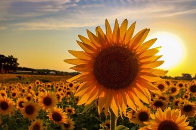 An American farmer planted more than 2 million sunflowers to provide a respite during this rough year   CTV News