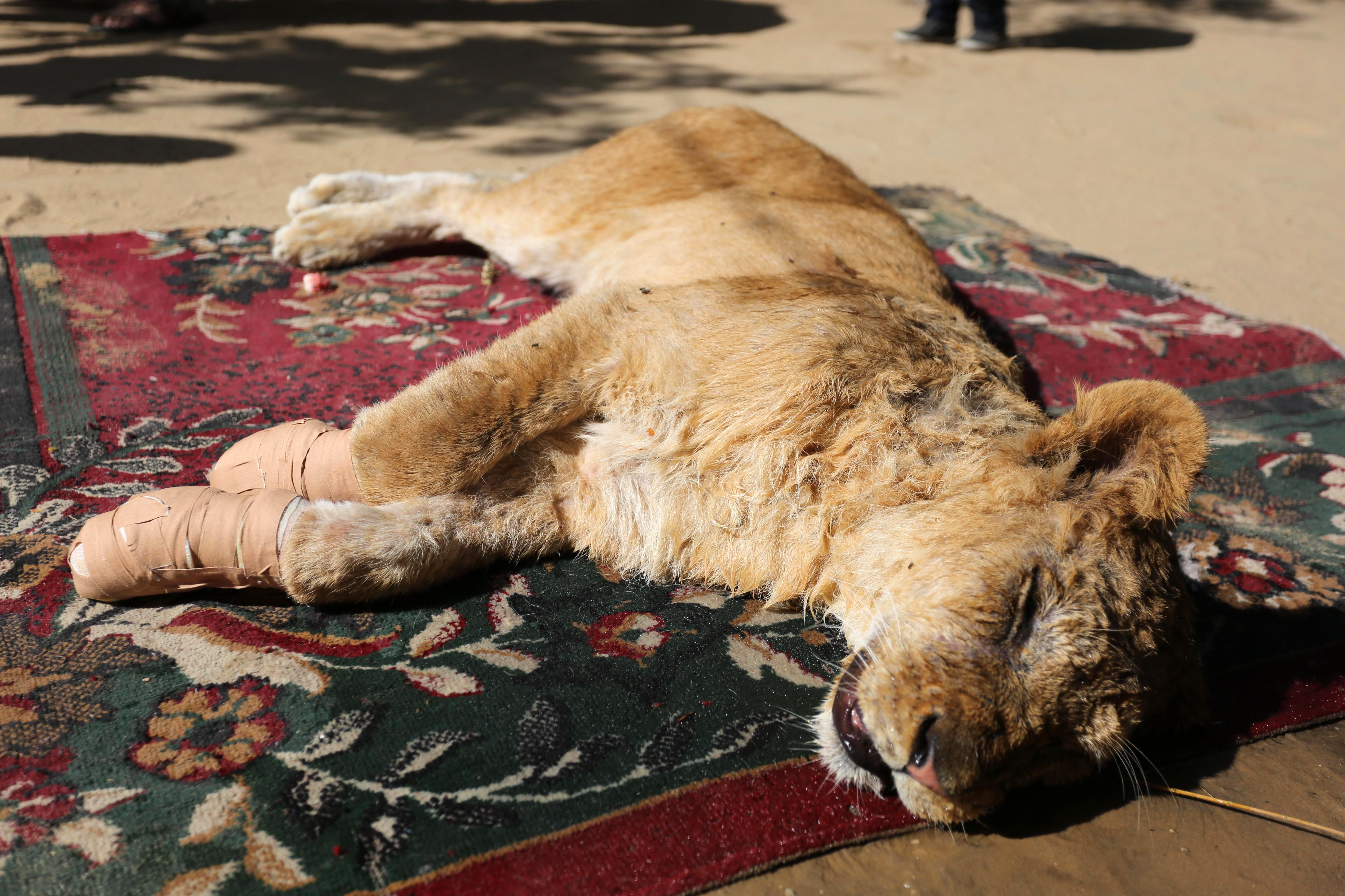 The lioness can be seen lying on the floor with bandages around her front paws. Credit: Shutterstock