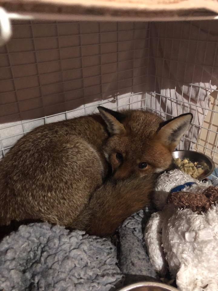 Luckily the fox was found to be in good health after he was found on top of a microwave. Credit: RSPCA