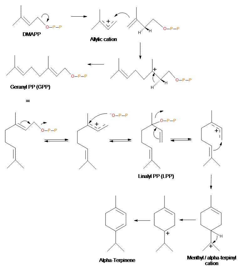 Biosíntesis de alfa-terpineno