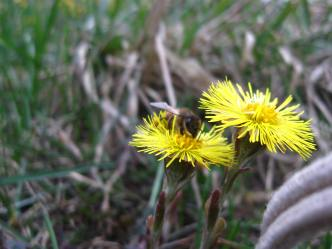coltsfoot: the bees' first taste of spring