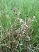 Melampus bidentatus, Plum Island, MA