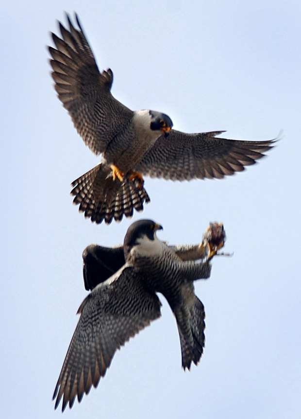 Peregrine Falcons by Beth Balbierz Photo