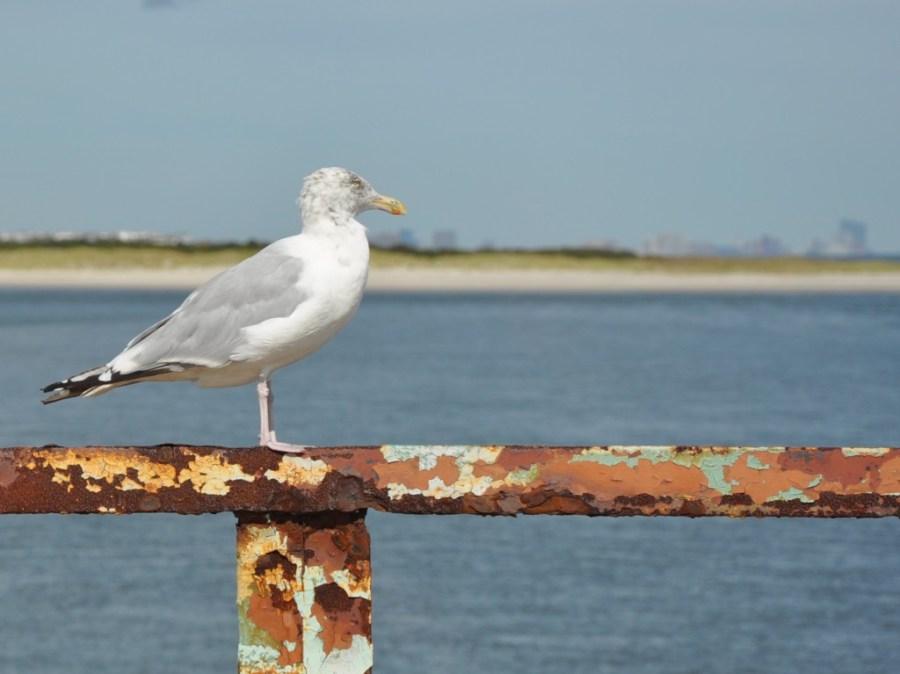 Seagull on a Bridge, Strathmere, NJ