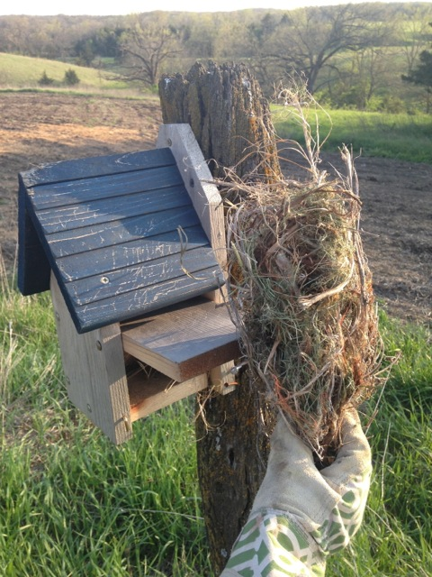 Removing a house sparrow's nest from one of the bluebird houses 4/28
