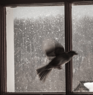 bird fluttering inside a window