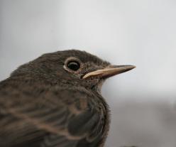 close up of female sparrow
