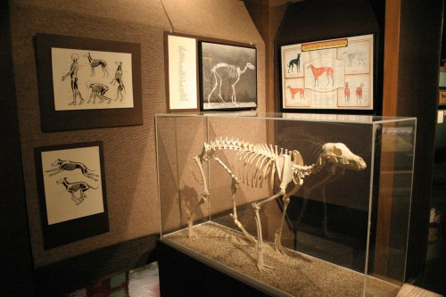 Abilene Greyhound skeleton Nov 2009
