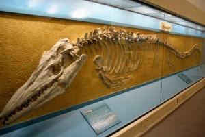 Hays Sternberg Museum Mosasaur Nov 2009