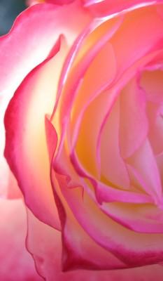 Loose Park pink rose 2 vertical detail KC Nov 2009