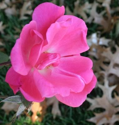 Loose Park pink rose with leaves KC Nov 2009