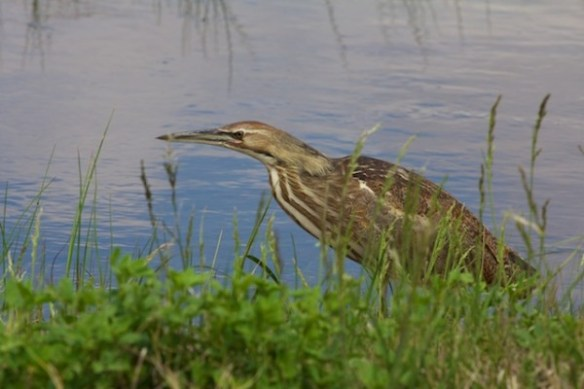 American bittern, Beth Partin Photos, Quivira National Wildlife Refuge