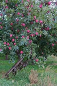 Mt. Hood red apples Oregon Oct 2011