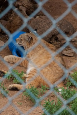 Bobcat at Navajo Nation Zoo with blue ball, 2013