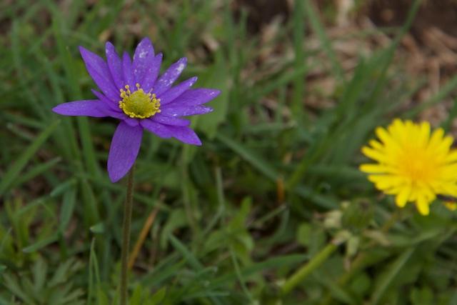Pawneeland flowers, northern Kansas
