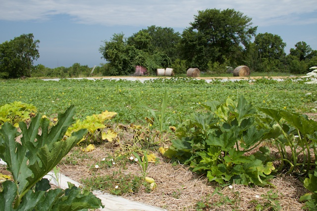 The cucurbit field from the other side, looking at hay bales and a shed. Compost piles are off to the left.