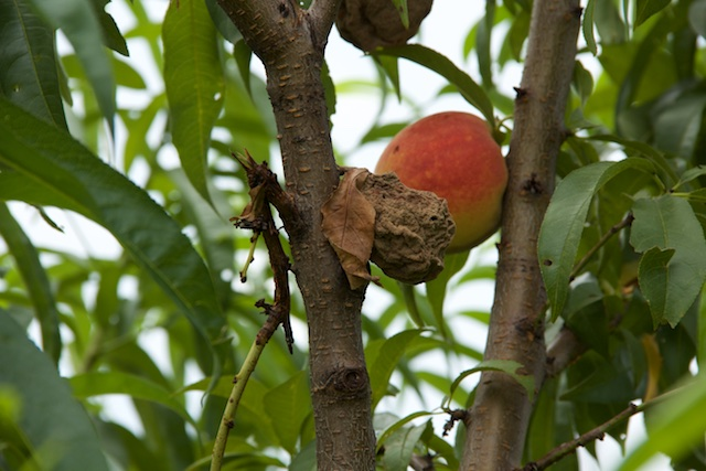 There was a late frost this spring, and then the season turned wet, making it difficult for the peach trees.