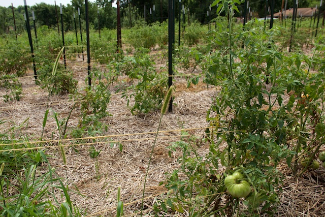 Staked tomato plants in a heavily mulched field.