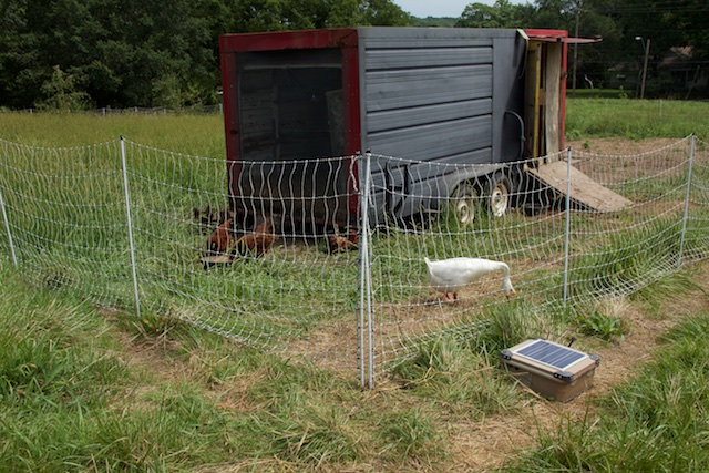A few of the 200 chickens at Urbavore Farm, and a noisy goose. The solar panel at bottom right powers the electric fence.