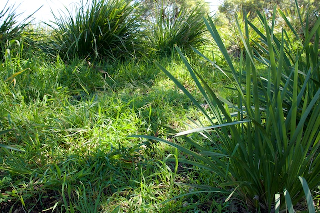 Grass filling the space between Dianella tussocks