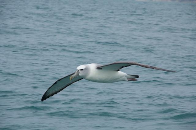 Albatross Encounter Kaikoura 3