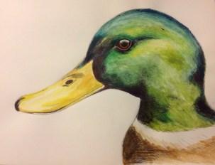 Mallard Duck Colour