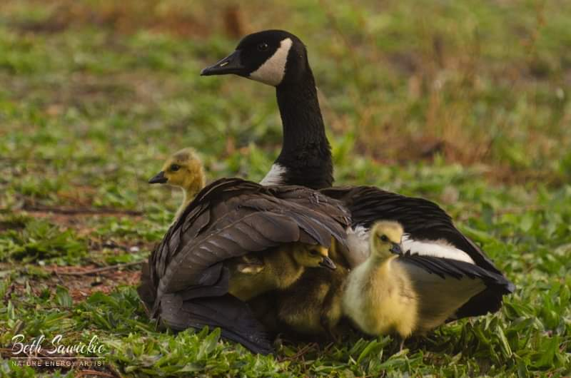 Goose and babies