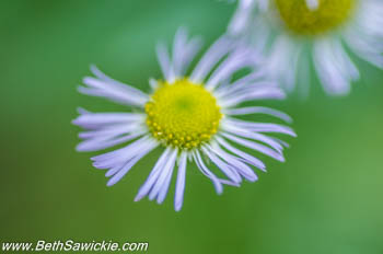 Flower near Adams Falls at Ricketts Glen, PA